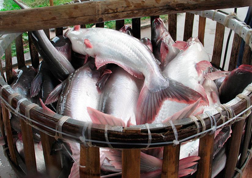 Рыба пангасиус: описание, рыбалка, приготовление