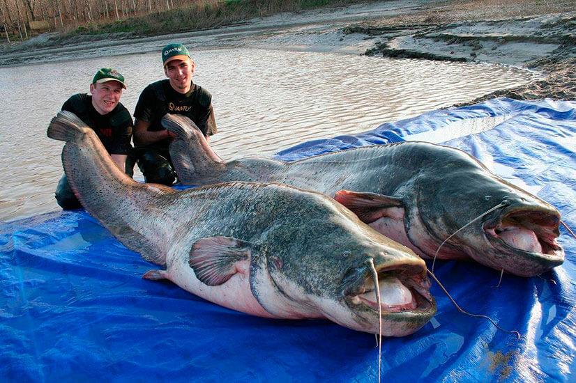 Самый большой сом: размеры и советы по ловле гигантов
