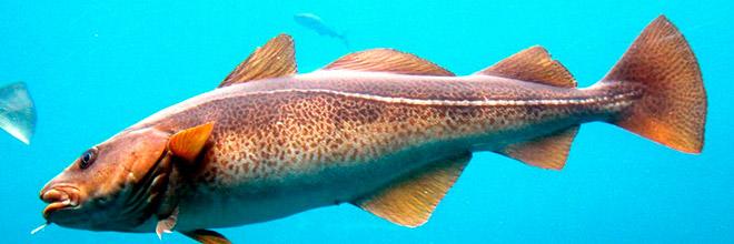 Лучеперовая рыба