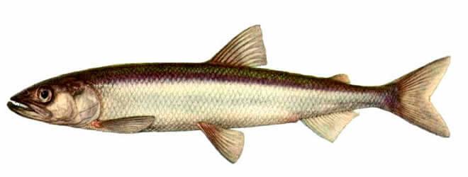 Корюшка - описание рыбы